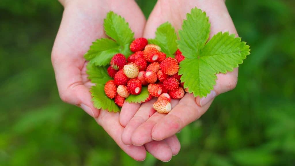 wild strawberries in hands