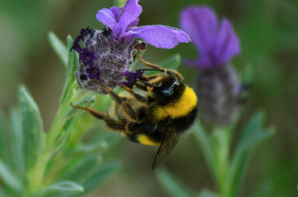 flor i abella