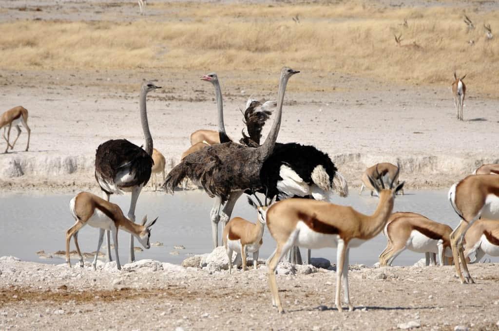 ostrich Cape Town