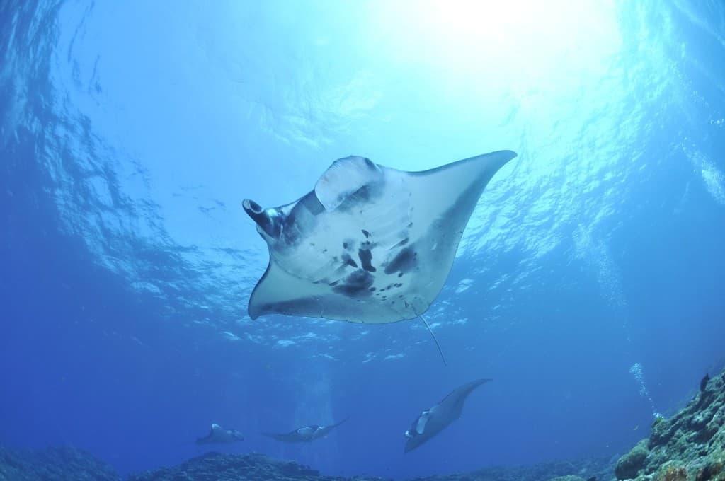 manta hawaii