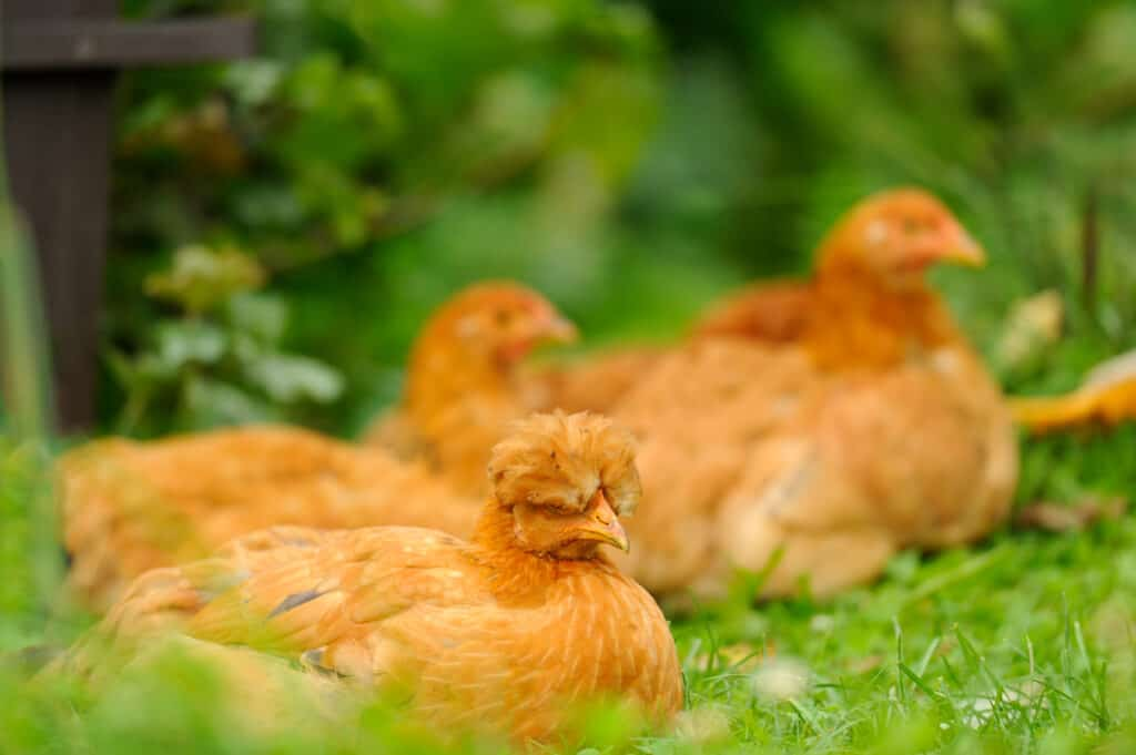 hens sitting on ground not crowing