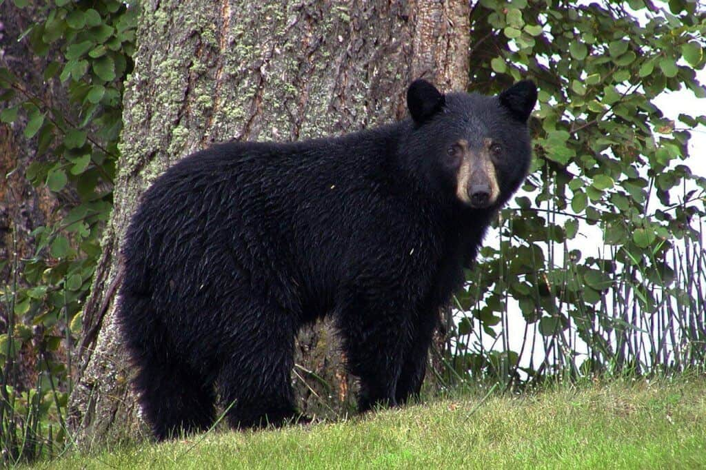 A black bear stands in front of a tree looking at the camera.