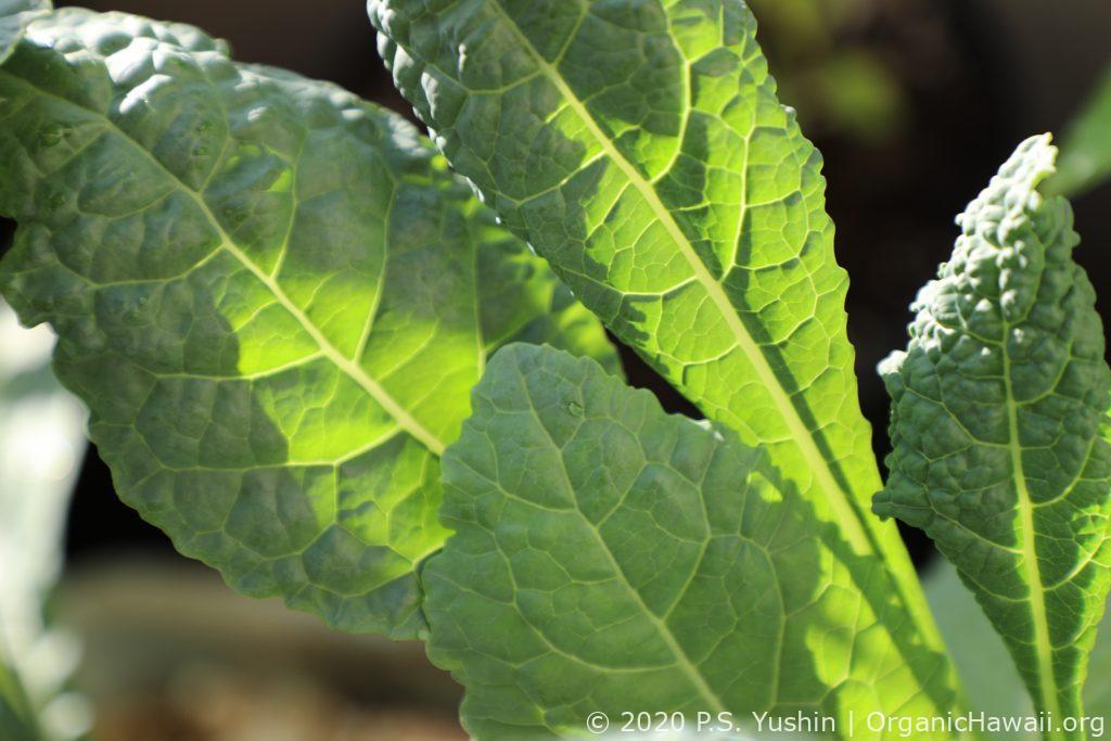 organic Lacinato Kale