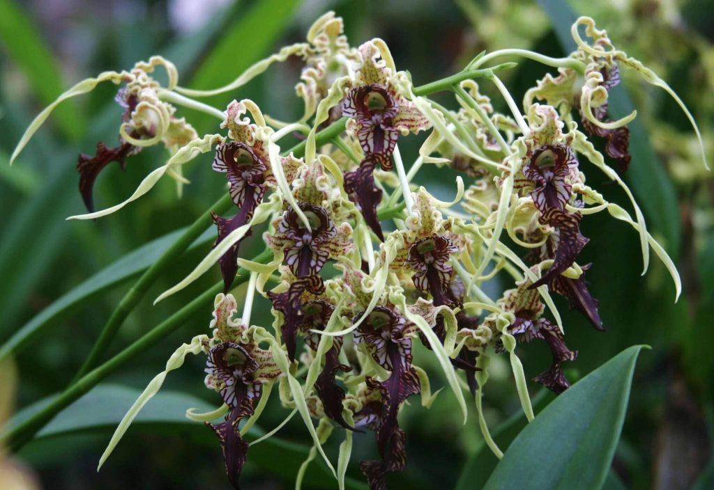 Dendrobium Spectabile alba