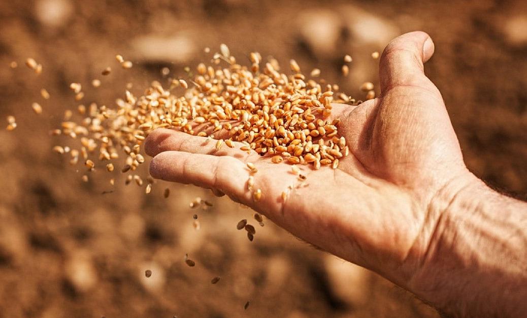 Libération des semences