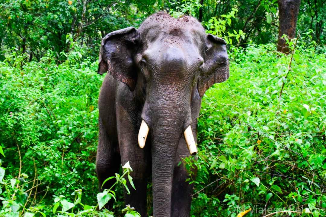 Elefantes-salvajes-y-tigres-en-India-Safari