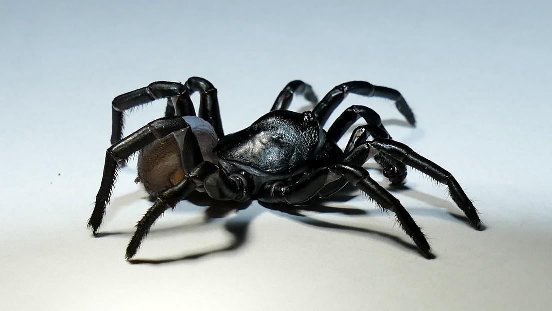 Nueva especie de araña