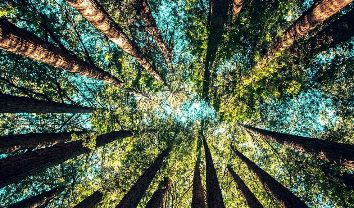 Planter des arbres pour compenser le CO2 : est-ce une si bonne idée ?