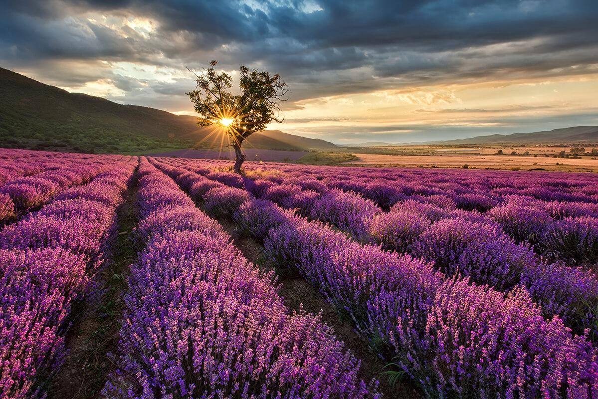 obraz na płótnie do winiarni Lawenda - Kwiaty