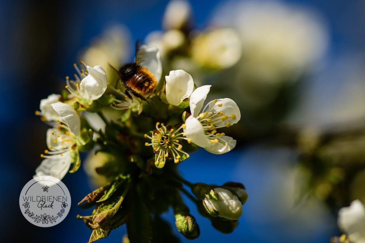 Obstblüte wildbienenfreundlich gehörnte Mauerbiene