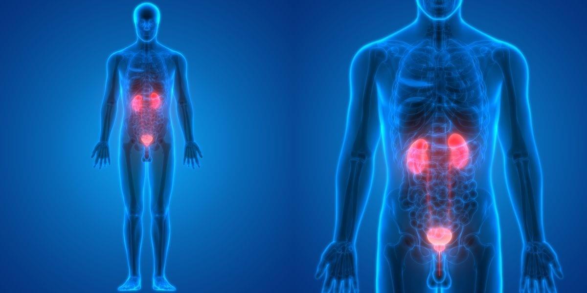 Eine Nierenbeckenentzündung wird durch Keime aus dem Darm ausgelöst, die über die Harnröhre in die Blase und die Niere selbst wandern können.