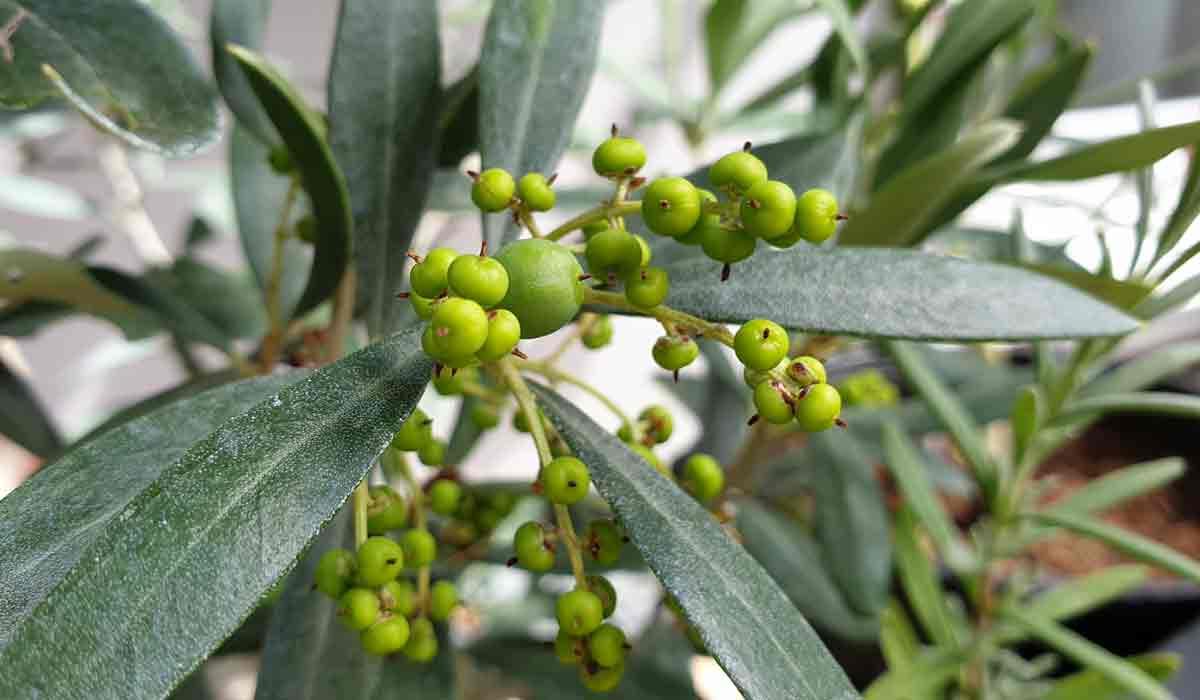 Olive mit Frucht. Wurde 2x im Monat mit einem Schluck pflanzlicher Dünger versorgt