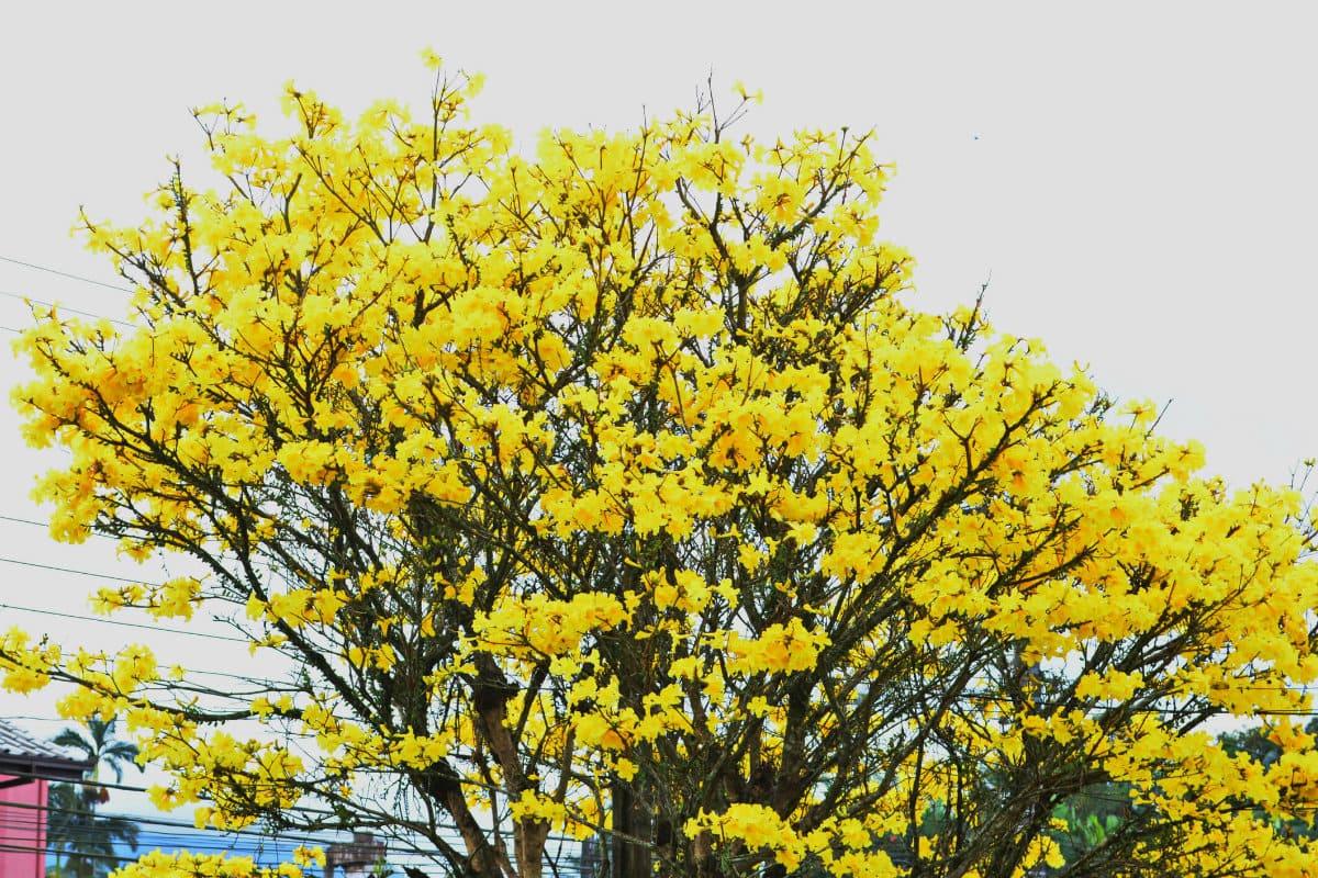 Florada de ipês no Pantanal