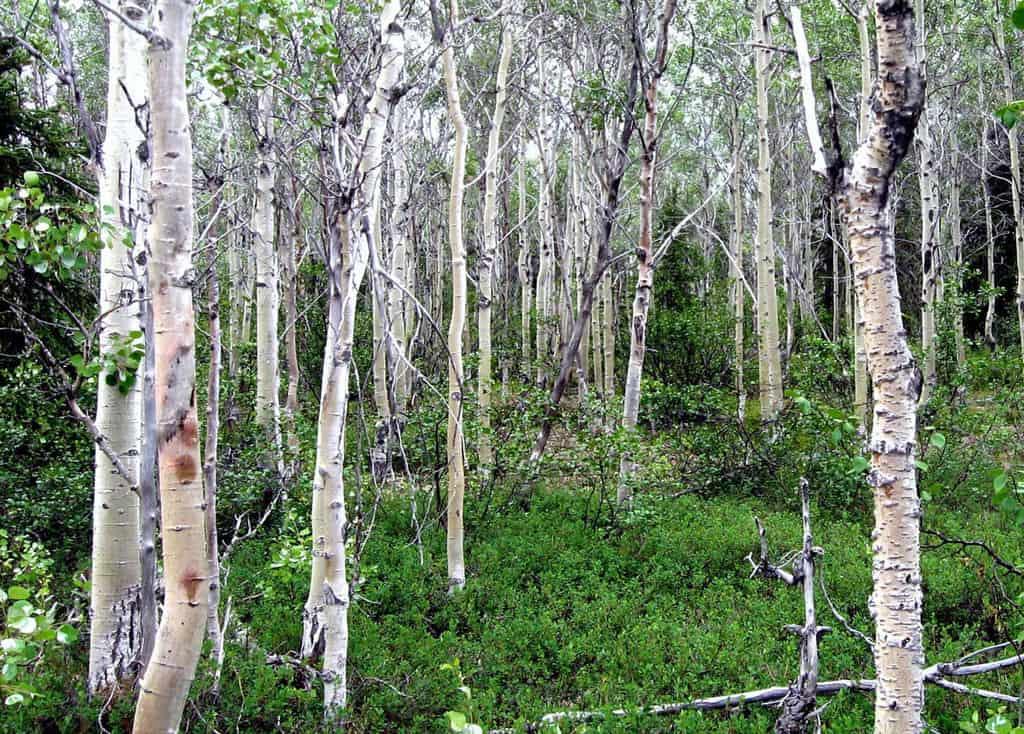 Quaking Aspen grove, Kobuk Valley National Park, NPS, public domain.