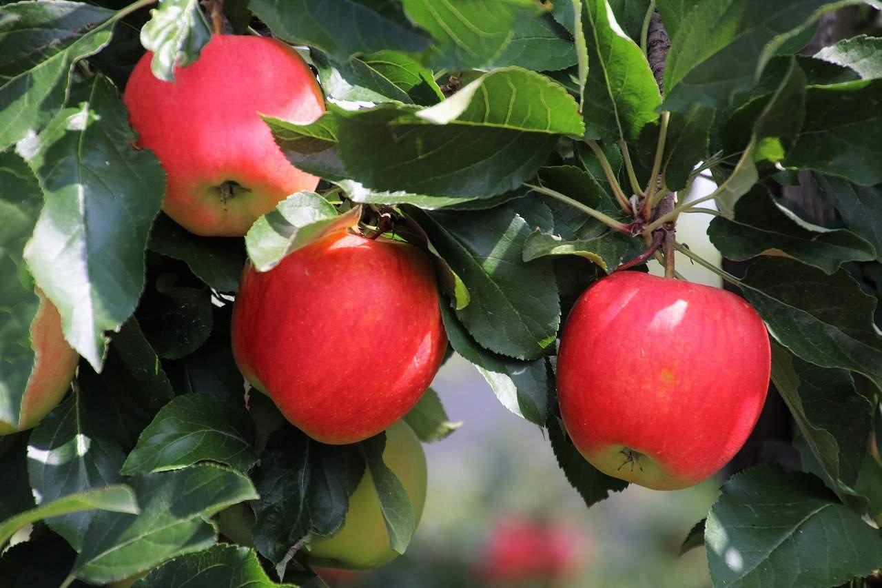 Wieviel Äpfel am Tag sind gesund?