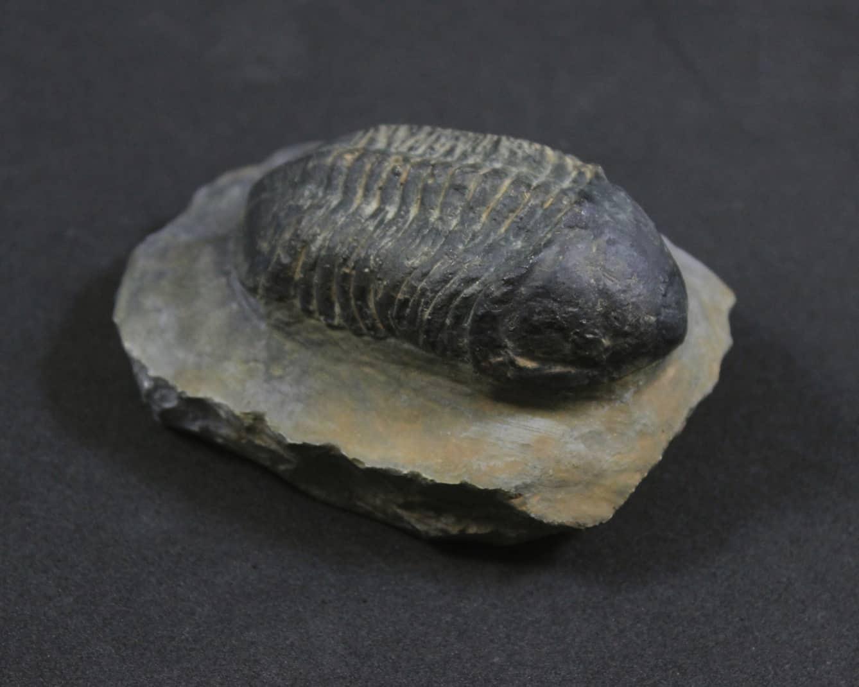 Trilobita: Struveaspis bignoni