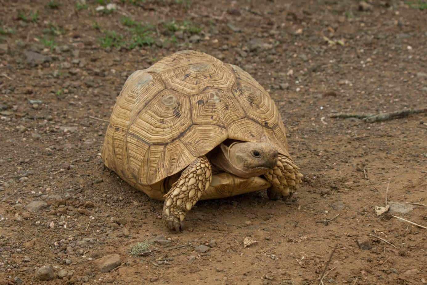 Leopard Tortoise @ Ndumo Game Reserve. Photo: Håvard Rosenlund