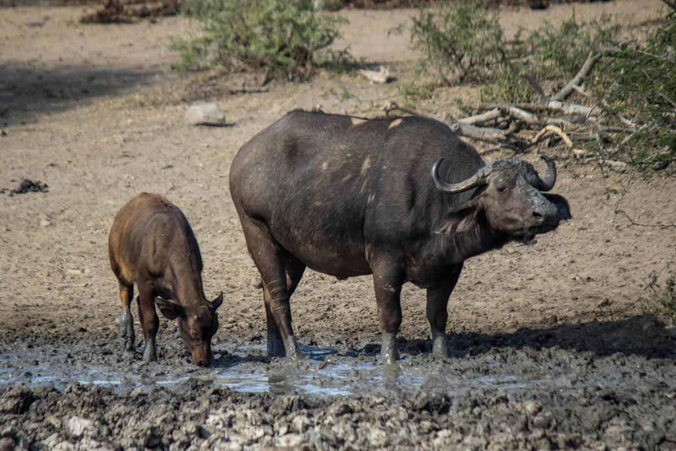 Cape Buffalo @ Hluhluwe-iMfolozi Park. Photo: Håvard Rosenlund