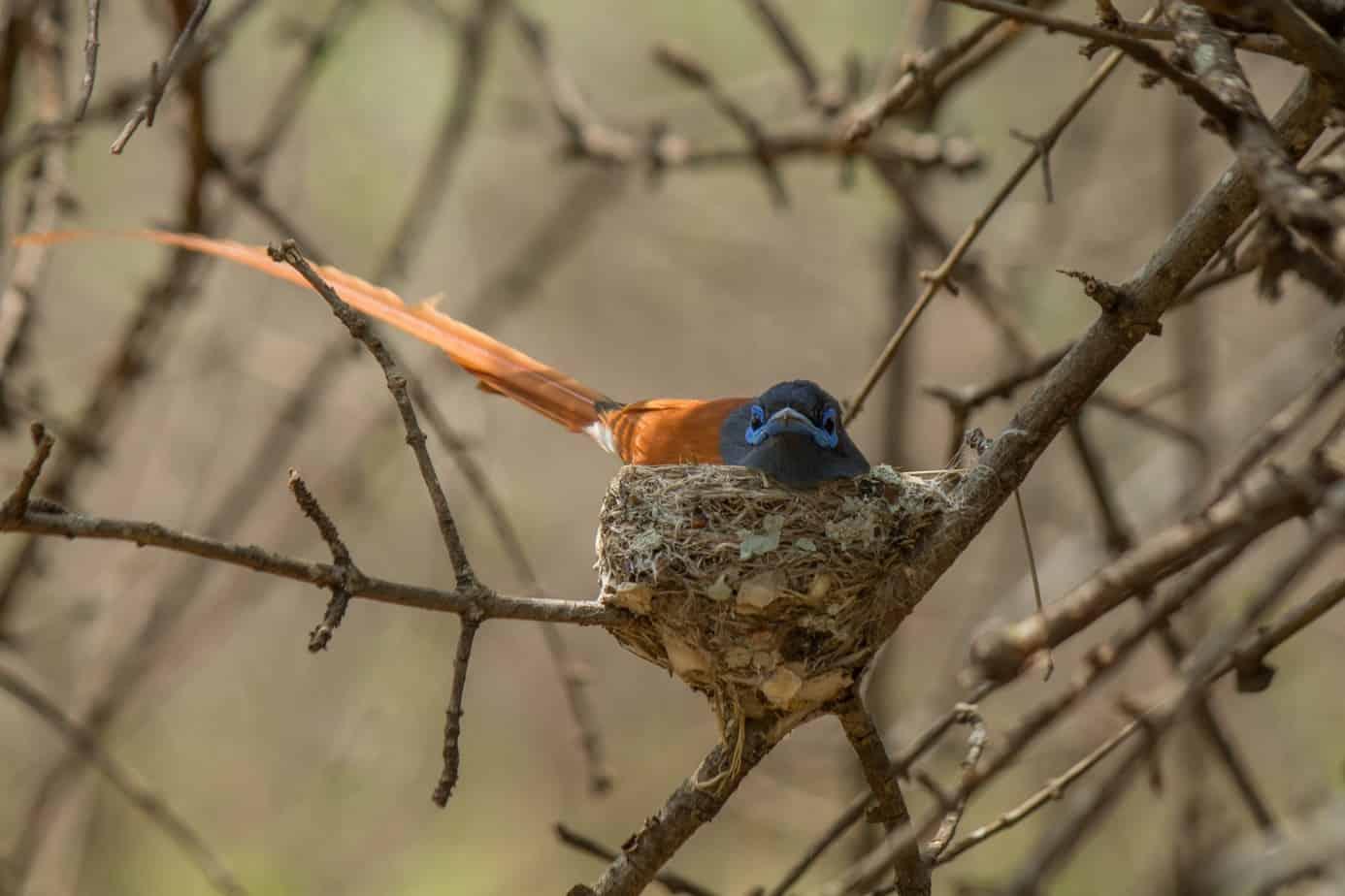 African Paradise Flycatcher @ Ndumo Game Reserve. Photo: Håvard Rosenlund