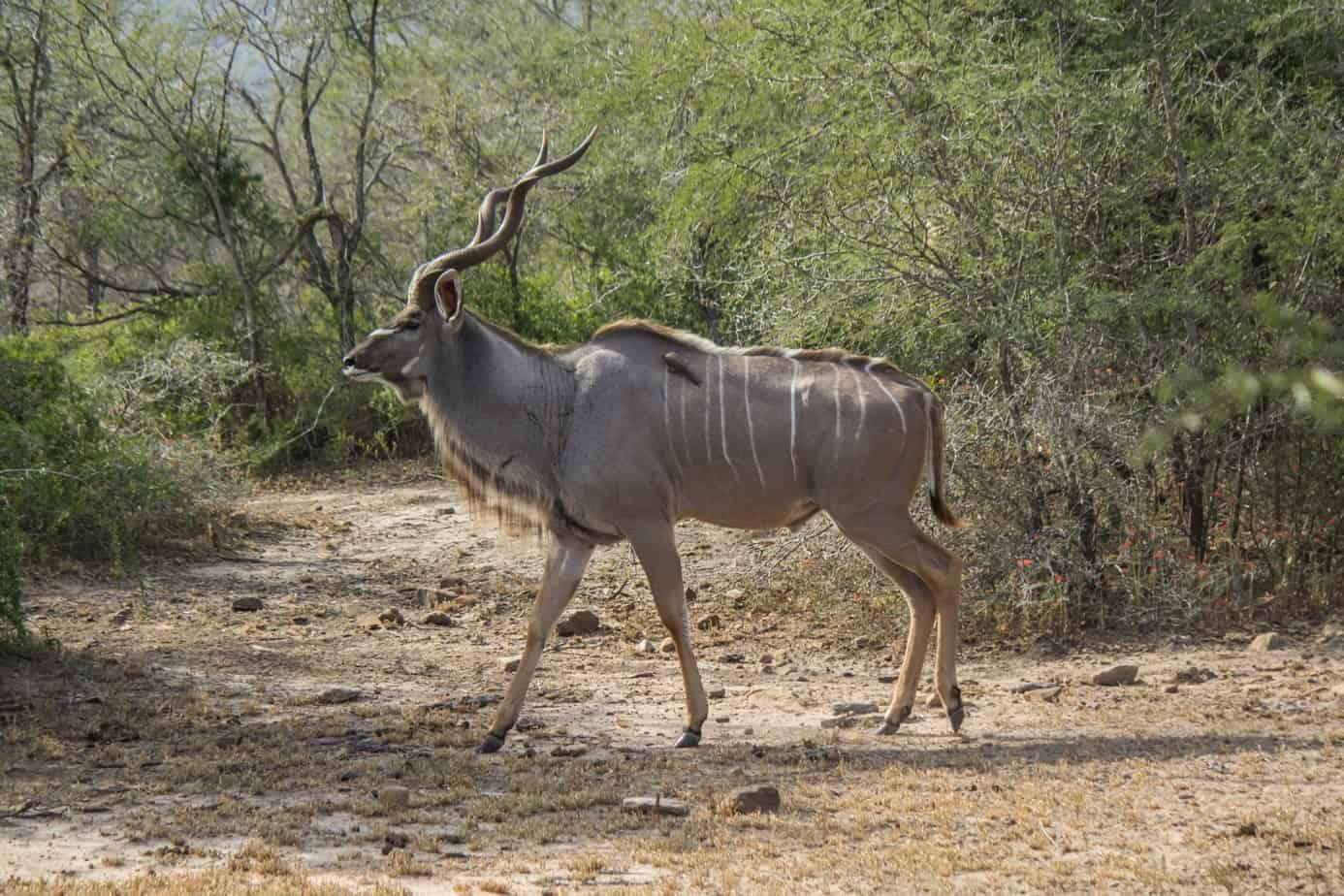 Greater Kudu @ Hluhluwe-iMfolozi Park. Photo: Håvard Rosenlund