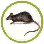 Дератизация крыс и мышей