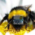 Los asesinos de las abejas contagian a los polinizadores naturales