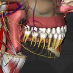 Anatomie et rôle de la cavité buccale 7