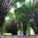 Wisata Alam Hutan Bambu & Taman Sakura, Keputih, Surabaya