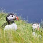 Mousa, Shetland Isles