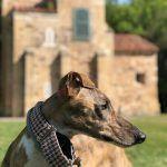 Perro de raza grande, galgo español
