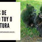 razas de perro toy o miniatura
