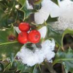 Snow Holly