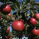 Quercetin Apples