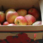 bruised apples