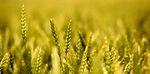 Saaten-Union őszi kalászosok – 2014-ben is több termés, nagyobb termésbiztonság