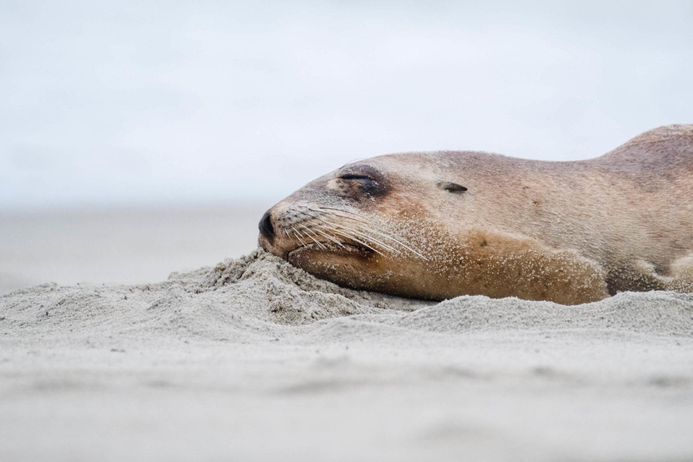 Seebär liegt im Sand