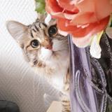 Chat sibérien chaton