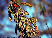 Roosting Monarch Butterflies Overwintering