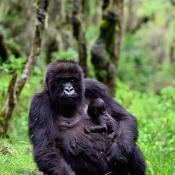 Gorilla-Trekking-8