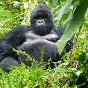 Gorilla-Trekking-4