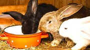 Raising Rabbits On The Homestead For Beginners
