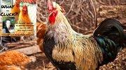 Chicken Mites & Lice: How To Treat And Prevent Chicken Mites & Lice