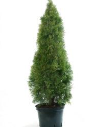 Thuja Smaragd 100-120 cm