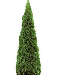 Thuja Smaragd 160-180 cm