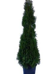 Thuja Smaragd 140-160 cm1