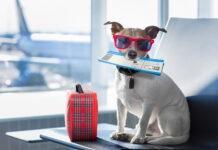 pies na wakacjach w samolocie z biletem w zębach