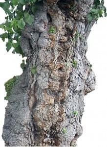 Baum Krebsknoten