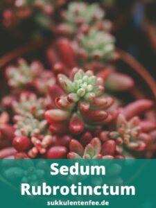 Sedum Rubrotinctum ist eine Sukkulente.
