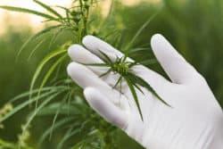 Chemikalie in Cannabis kann gegen Krebs wirken
