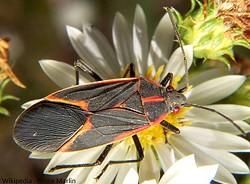 Box Elder Bug (Boisea trivittata)